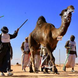 استعراض ونتائج فردي فحل وضح في مهرجان الملك عبد العزيز للإبل