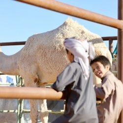 مهرجان الملك عبدالعزيز للإبل لا للعبث والغش نعم للرفق بالإبل وعدالة المنافسة