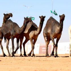 """""""سعود، وسلمان""""""""الخبيب"""" و""""الصفيف"""" و""""الدلي"""" .. تعرَّف على سرعات منافس الخيول"""