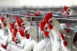 التحذيرات من أكل الدواجن غير صحيحة.. والإنفلونزا لا تنتقل من الطيور إلى الإنسان