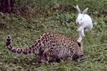 """بالصور.. """"أرنب النينجا"""" يحارب ببسالة """"النمور"""" في الصين!!"""