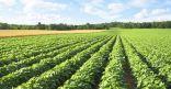 السعودية تتصدر الدول المستوردة للحاصلات الزراعية المصرية في موسم 2017 / 2018م