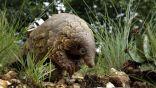 ضبط 6 أطنان آكل النمل الناقل لكورونا بماليزيا