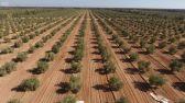 """""""جينيس"""" تعتمد مزرعة زيتون حديثة بالجوف كأكبر مزرعة في العالم"""