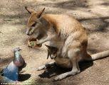 """شاهد .. """"كنغر"""" يقدم طعامه لحمامة"""