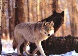 ذئب بني يعقوب