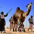 """لأوّل مرة.. مسابقة لـ""""طَبْع الإبل"""" في مهرجان الملك عبد العزيز للمزايين"""