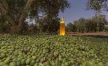 الجوف تستعد لمهرجان الزيتون بـ 10 ملايين لتر من الزيت البكر