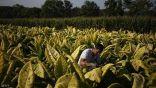 """شركة سجائر أمريكية تعلن اقترابها من إنتاج لقاح مضاد لفيروس """"كورونا"""""""