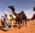 الأميرة سيرين بنت عبد الرحمن تسجل أول مشاركة نسائية في مهرجانات مزايين الإبل