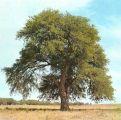 مواطن إماراتي يهدي صديقه السعودي 3 ملايين بذرة لشجرة الغاف لزراعتها بالمملكة