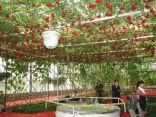 شجرة طماطم تطرح 32 ألف حبة طماطم لكل قطفة